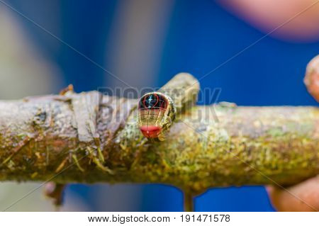 Close up of a beautifull caterpillar posing over a trunk inside of the amazon rainforest in Cuyabeno National Park in Ecuador.