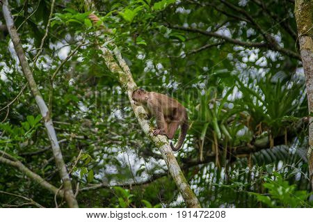 Wild Capuchin Monkey sitting over a branch, inside of the amazon rainforest in Cuyabeno National Park in Ecuador.