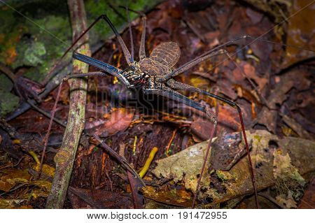 Whip Scorpion walking toward viewer through dry leafs, whip Scorpion amblypygi inside of the forest in Cuyabeno National Park, in Ecuador.