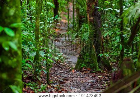 Path inside of the amazon rainforest, surrounding of dense vegetation in the Cuyabeno National Park, South America Ecuador.