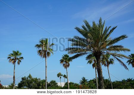Some palm trees standing tall in the breeze and afternoon sun of southwest Florida.