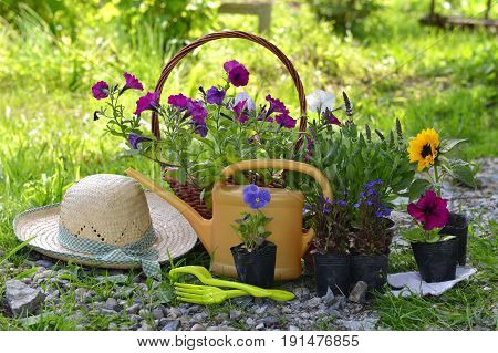 Garden still life with straw hat, petunia flowers and watering can against grass background. Vintage planting flowers concept