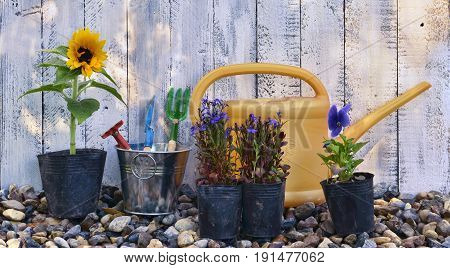 Still life with summer flowers in planting pots and garden tools against white planks background. Vintage planting flowers concept