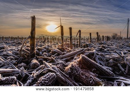 Image of corn stubbles on a frosty winter morning