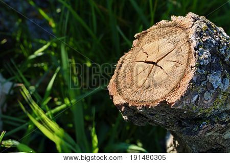 A medium sized oak log showing its cross section in the grass