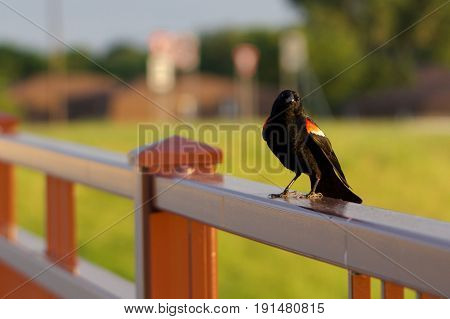 A redwing blackbird sits on the railing and greets passersby