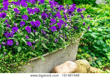 Blue summer flowers in a zink trough in the garden at sunshine