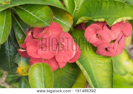 Crown of thorns flowers : Euphorbia milli Desmoul