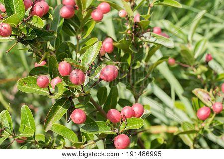 Carissa carandas L. herb's tree, red friut