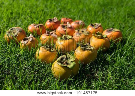 Color gradient of ripe and unripe persimmon fruit on green grass with shallow depth of field