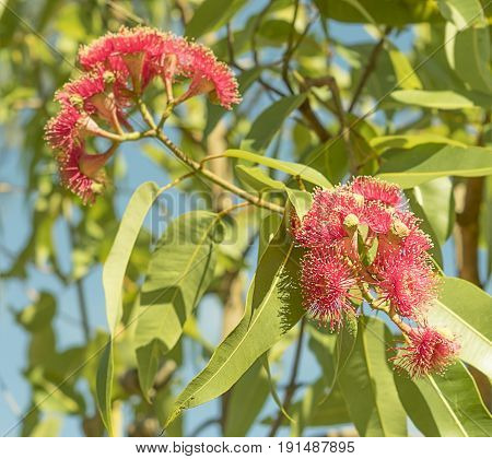 Bright Australian sunlight on red eucalyptus flowers with green gum leaves