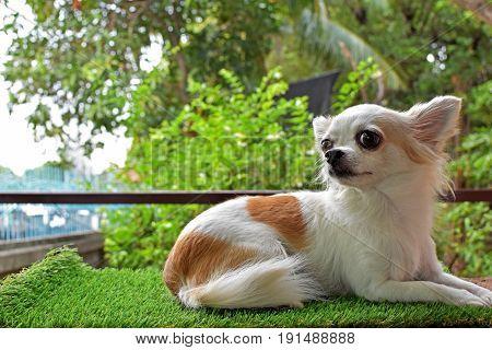 Chihuahua Furry Dog