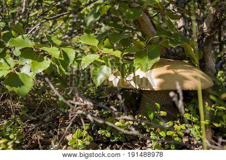 One aspen mushroom orange-cap boletus ander birch