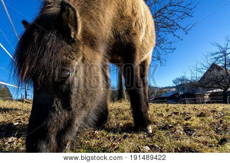 Wintertime in the Black Forest. Close-up of a donkey while looking for fresh grass.