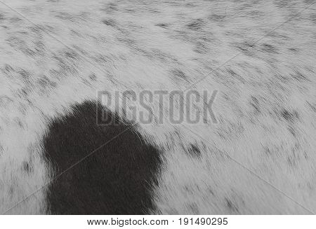 Fabric Textile Close Up of Black and White Cowhide or Fragment of Skin A Cow Texture Background.