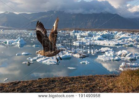 Big Bird Taking Wing Above Icebergs In Jokulsarlon Glacier Lagoon. Base Of The Vatnajokull Glacier A