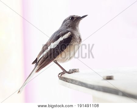 portrait of small single bird on building animal wildlife adapt their life to survive in the city nearby human activity.