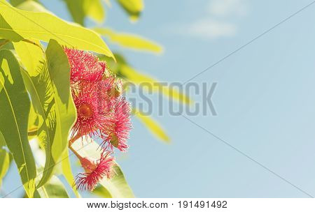 Australian red gum flowers in sunlight with blue sky condolence background