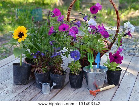 Garden still life with flowers in planting pots and working tools on planks. Vintage planting flowers concept. Beautiful summer background