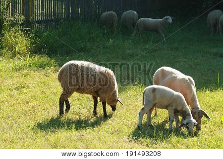 sheep and lamb of different races on a pasture