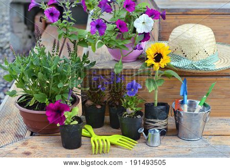 Garden still life with flowers in planting pots, working tools and straw hat on wooden background. Vintage planting flowers concept. Beautiful summer background
