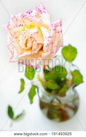 a rose in a vase with leaves