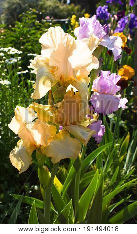 Beautiful flowers of yellow iris. Beautiful irises on green background. A yellow iris plant in garden bloom in spring.