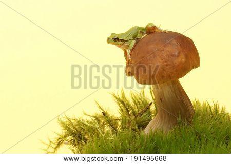 Tree frog (Hyla arborea) on mushroom Boletus