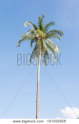 coconut tree with bluesky background, coconut friut