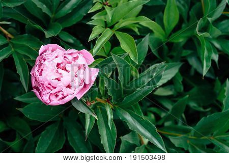 Background of fresh green peony leaves and one pink peony. Peony leaves background. Green background with leaves free space. Flat lay. Natural floral background