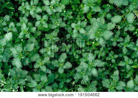 Background Of Fresh Green Leaves. Green Leaves Background. Green Background With Leaves. Flat Lay, F