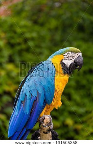 Photo of a blue and yellow parrot posing on a trunk