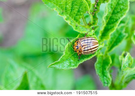 Colorado Potato Beetle Eats Potato Leaves.