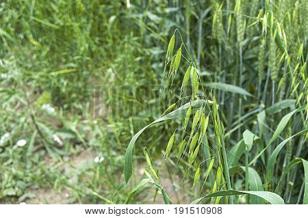 Green oat plant on the field, oat plant from the wheat germ