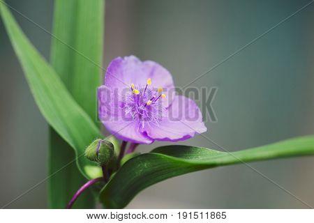 Tradescantia virginiana spiderwort herbaceous plant. Blooming violet flower garden landscape. Shallow depth field, selective focus.