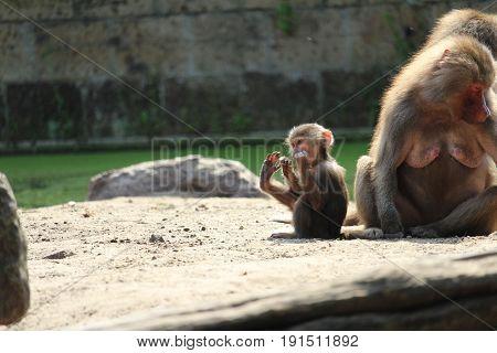 Little monkey and his foot - klein aapje en zijn voet