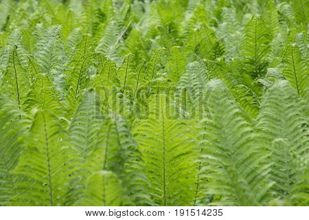 Young fern in the forest. Fern in the forest close up