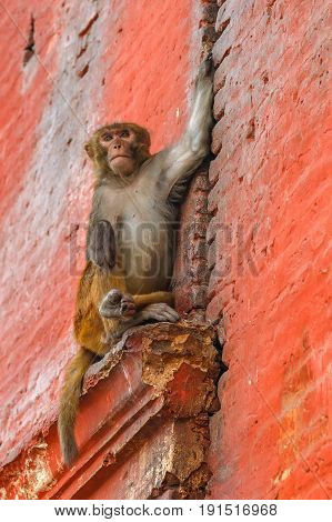 Photo of rhesus monkey sitting on the wall
