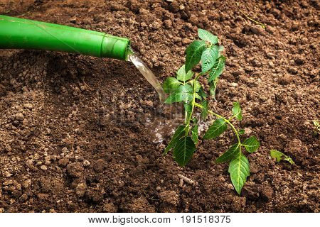 Planting and watering of seedlings. Work in the garden