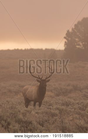 a bull elk on a foggy morning during the fall rut