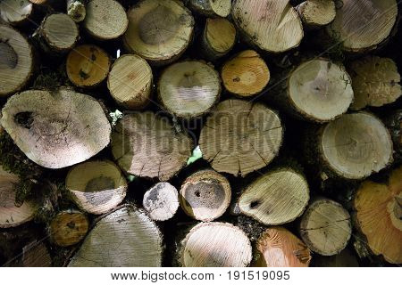 Sawn wood texture. Wood texture of cutted tree trunk