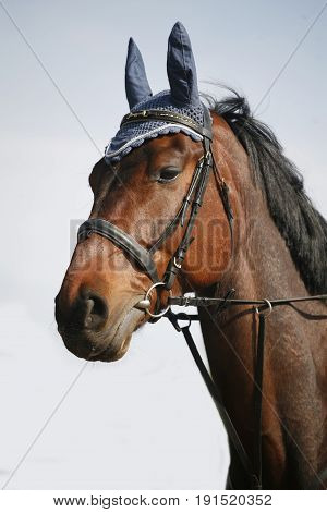 Portrait of beautiful show jumper horse in motion