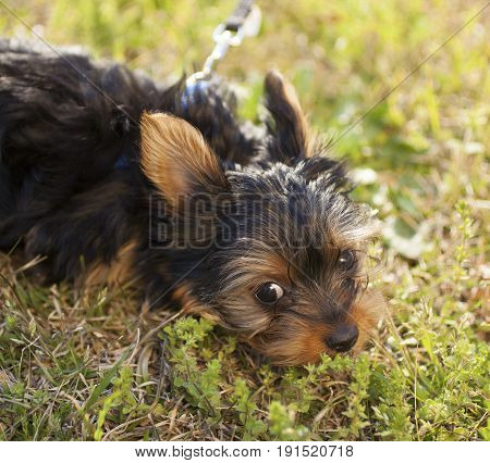 Yorkie that is tired and laying on the green grass