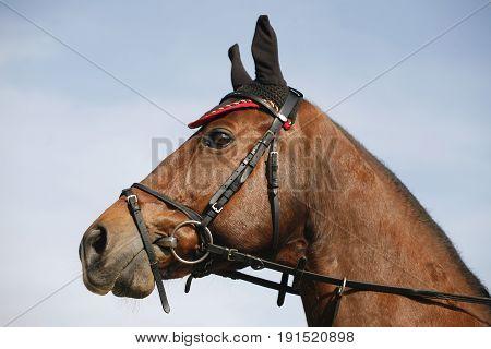 Side view portrait closeup of a beautiful show jumper horse's head