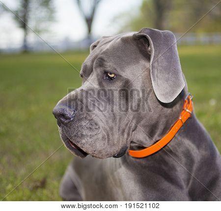 Gray Great Dane purebred profile photo taken outside