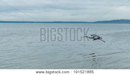 A Blue Heron flies near the shore at Saltwater State Park.