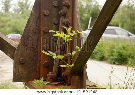 Sprout of a young tree at a place of fastening of a mast of power lines