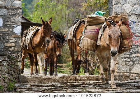 Photo of himalayan horse caravan transporting goods