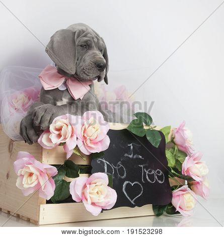 Great Dane purebred puppy in a box with pink flowers