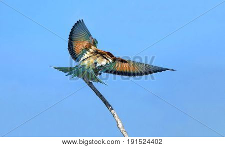 Beautiful Bird The Bee-eater In All Colors Of The Rainbow